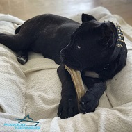 Cane Corso Has Amazing Look in Decorated Leather Collar