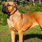 High Quality Leather Cane Corso Collar