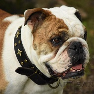 English Bulldog *Dash is Incredible in FDT Artisan Adorned with Stars Leather Dog Collar