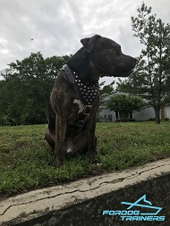 Pitbull Showing off Exclusive Studded Leather Dog Harness