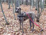 Olivia wearing our exclusive Tracking / Pulling / Agitation Leather Harness for big dog Great Dane H5