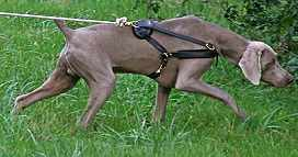Super Light Leather Dog Pulling Training Harness for Weimaraner and Other Similar Breeds