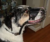 Louie Catahoula mix looking Gorgeous in Basket Dog Muzzles (All Sizes)