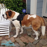 *Luca Enjoys Wearing Nylon Saint Bernard Dog Tracking Harness