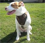 MILEY wearing our exclusive Agitation / Protection / Attack Leather Dog Harness H1
