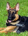 Mace German Shepherd wearing better control everyday dog harness - H17