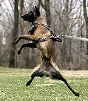 Agitation / Protection / Attack Leather Dog Harness Perfect For Your Malinois H1_1