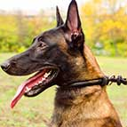 Malinois Round Leather Choke Collar Silent in Action