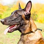 Malinois Strong Leather Choke Collar for Better Pet Control