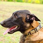 Malinois Sensational War Leather Collar with Nickel Plates and Brass Spikes