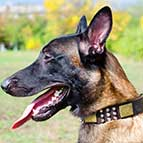 Malinois Spiky Leather Collar with Old Brass Massive Plates