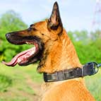 Malinois Extraordinary Leather Collar with Nickel Plates