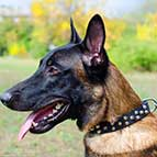 Stylish Malinois Leather Collar with Small Pyramids/Studs