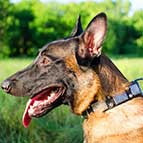 Malinois Designer Leather Collar With Vintage Nickel Plates and Pyramids