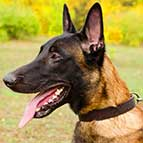 Ergonomic Malinois Leather Collar (1 1/5 inch, 3cm width)