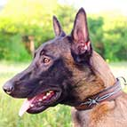 Malinois Hand Painted Leather Collar with Barbed Wire Design
