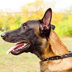 Malinois Designer Leather Collar with Spikes