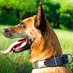 Malinois War-like Leather Collar with Metal Plates