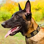 Attractive Malinois Nylon Collar with Silver Plates