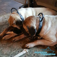 2 Ply of Genuine Leather Mastiff Collar Made for Agitation Training