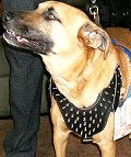 Spiked dog harness made of leather And Created To Pit bull and similar breeds - product code H9