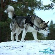 *Ridlis Walks in Comfort in Best Nylon Harness for Alaskan Malamute