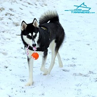 Pretty *Sadie Looks Awesome in Nylon Siberian Husky Harness