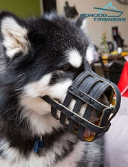 *Holly Malamute Presents Leather Basket Muzzle for Safe Walking and Pro Training