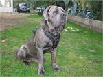 Ares wearing our exclusive Luxury Handcrafted Padded Leather Dog Harness Perfect for your Neopolitan Mastiff H10