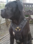 *Nikita looking superb in Exclusive Luxury Handcrafted Padded Leather Dog Harness - H10