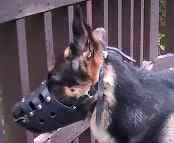 Niko looking good in our Everyday German Shepherd Leather dog muzzle - M11