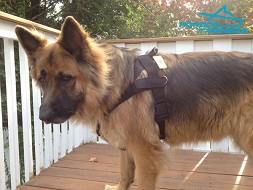*Duke Trying on his New Multitasking Nylon Dog Harness for German Shepherd