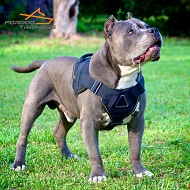 Pitbull in Perfectly Fitting Nylon Harness for Tracking and Training