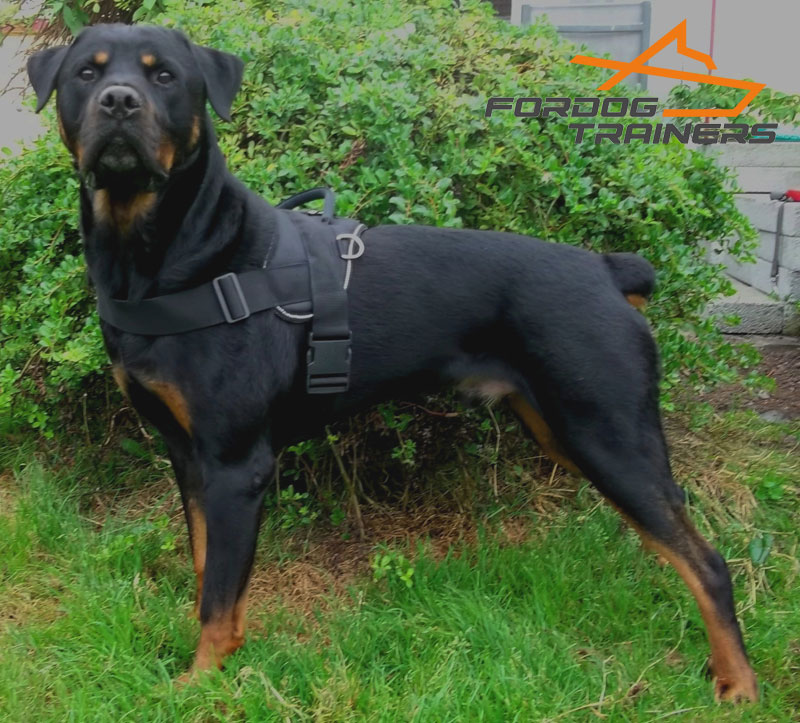 Adjustable Dog Harness of Water-proof Nylon Demonstrated by Gorgeous Rotty