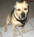 Great looking Pit bull wearing our Luxury handcrafted leather dog harness H3