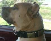 Buddy can't be more proud wearing *Gorgeous War Dog Leather Collar - C85 (old brass massive plates +2 nickel pyramids)