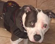 Missy looks cute wearing Designed to fit Pitbull - H6 All Weather dog harness for tracking / pulling