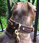 *Tiger presents favorite Gorgeous Wide 2 Ply Leather Dog Collar - Fashion Exclusive Design