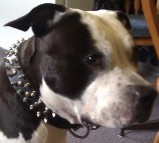 *VooDoo in 3 Rows Leather Spiked and Studded Dog Collar