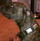 Pitbull is happy about having Gorgeous War Dog Leather Collar - Like in the movies - c83