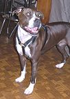 Leather Dog Harness for Pitbull Walking/Training/Tracking
