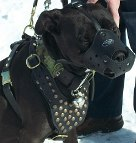 Pitbull from Canada is superb in Studded leather dog harness- H15