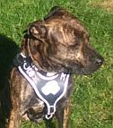 Pitbull Looking Great in our Agitation / Protection / Attack Leather Dog Harness - H8