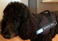 Nice Poodle in All Weather Reflective harness H6plus