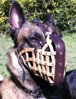 Restless dog in Police Style Muzzle