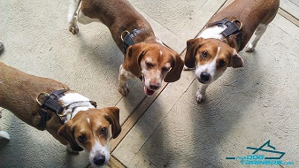 Cute Beagles Posing in Leather Dog Harnesses for Puppy and Small Breeds