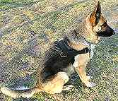 Razz wearing our All Weather dog harness for tracking / pulling Designed to fit German Shepherd - H6