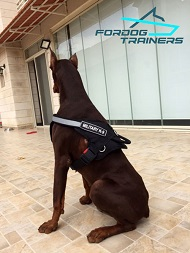 *Doi Doberman in Military Working Dog Harness