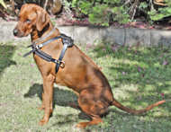 Rhodesian Ridgeback Tracking / Pulling Training Leather Dog Harness