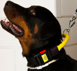 Smart *Boss wearing Nylon dog collar with handle and quick release buckle